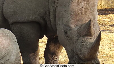 White rhinos eating - White rhinos, eating grass from the...