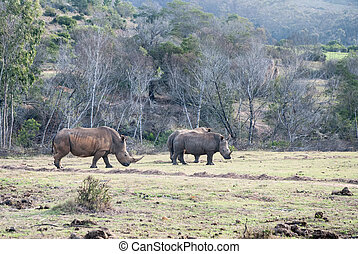 White rhinos in a game reserve