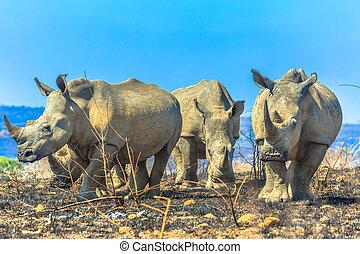 White rhinos in Umfolozi