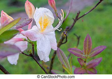 White Rhododendron blooms (Rhododendron) after rain