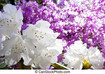 White rhododendron flowers in diagonal half with purple flower blur