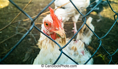 white rooster behind the mesh fence. close-up of a cock in a cage