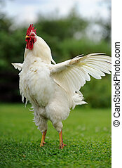 White Rooster (Cock) with Wings Spread