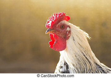 white rooster portrait