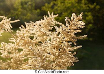White rosaceae flower in the warm morning light