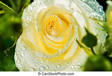White Rose After Rain