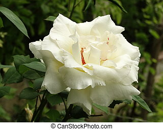 White Rose against the Background of a Garden
