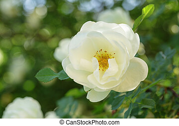 white rose briar blooming, outdoor close up photo