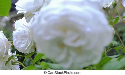 White rose close up. In the picture, change the focal length used.