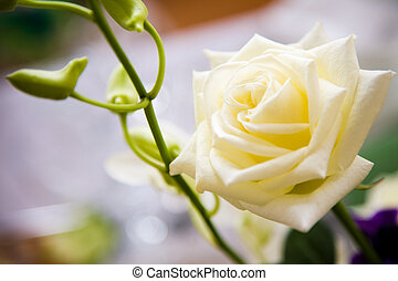White rose - Close-up of white wedding rose with green stem ...