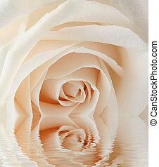 white rose closeup with reflection