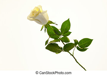 White rose flower closeup on a white background. Background for greeting card with place for text