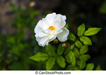 White rose flower in the garden close-up.
