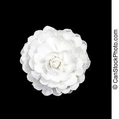 White rose flower isolated on black