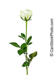 White rose flower on white background