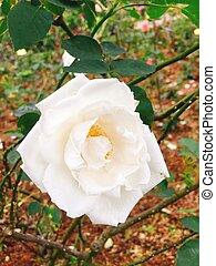White rose in garden