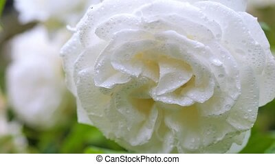 White rose in raindrops swinging in the wind. Close-up.