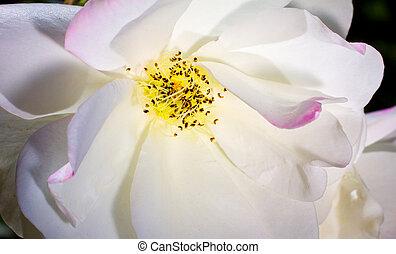 White Rose Macro Flower