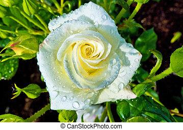 white rose on a rosebush - a white, flowering rose on a ...