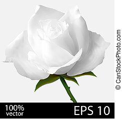 White rose realistic illustration - White rose bud. Photo...