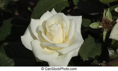 White Rose swaying in the wind