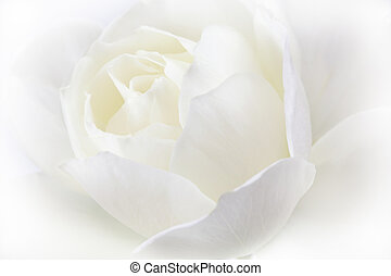 White rose. Wedding holiday card