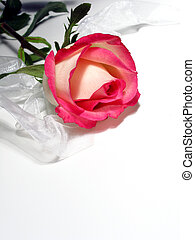 White Rose - White rose edged in pink with white shiny...