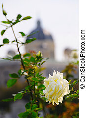 White rose with a dome of building out of focus