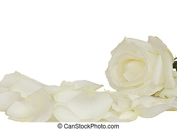 white rose with petals