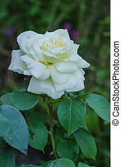 White roses blooms in the garden