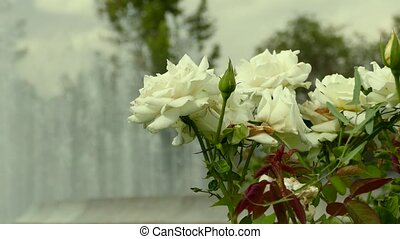 White Roses Blowing in the Wind