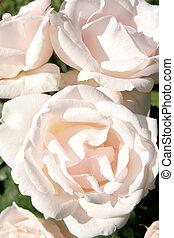 White roses in a rose garden