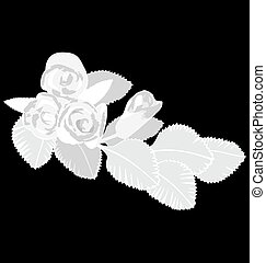 White roses isolated on black