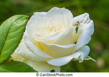 White roses on green background in flower garden