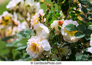 roses plant in spring