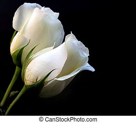 Two white roses on black background; copyspace