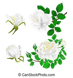 White roses with buds and leaves  set first vector.eps