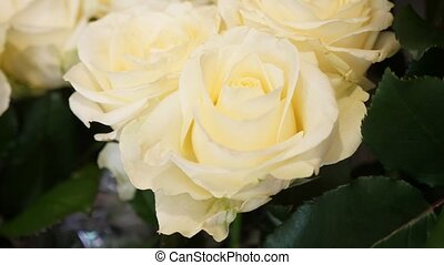 White roses with tender petals and thorny stems looking...