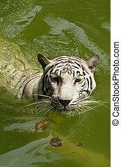 White Royal Bengal tiger swimming