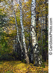White Russian birches in the autumn forest