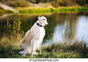 White Russian Borzoi, Borzaya Hunting Dog near river