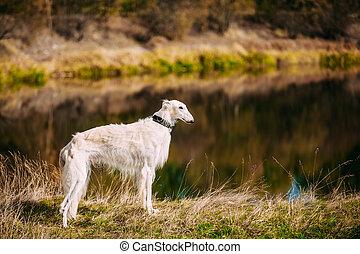 White Russian Borzoi, Borzaya Hunting Dog walking near river