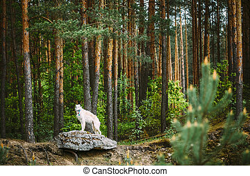 White Russian Borzoi, Hunting Dog standing on rock in forest