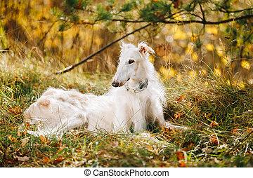White Russian Borzoi, Russian Hunting dog sit in autumn grass.