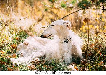 White Russian Borzoi, Russian Hunting Dog Sit In Autumn Grass