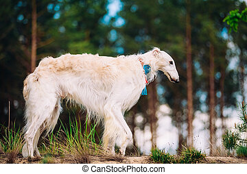 White Russian Wolfhound Dog, Borzoi, Russian Hunting, Sighthound