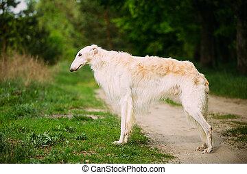 White Russian Wolfhound Dog, Borzoi, Hunting dog, Sighthound...