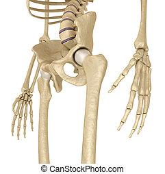 white., sacrum., skeleton:, 隔離された, 3d, 人間, medically, 骨盤, イラスト, 正確