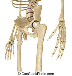 white., sacrum., skeleton:, isolato, 3d, umano, medically, ...