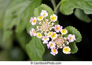 White sage flower